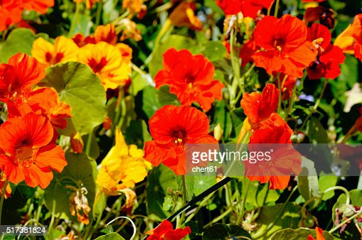flowerbed with lot of  nasturtium flowers : Stock Photo