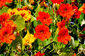 flowerbed with lot of red and yellow nasturtium flowers