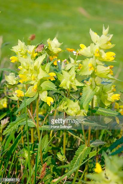 Flowerd of Rhinatus alecirilophus, Scrophulariaceae