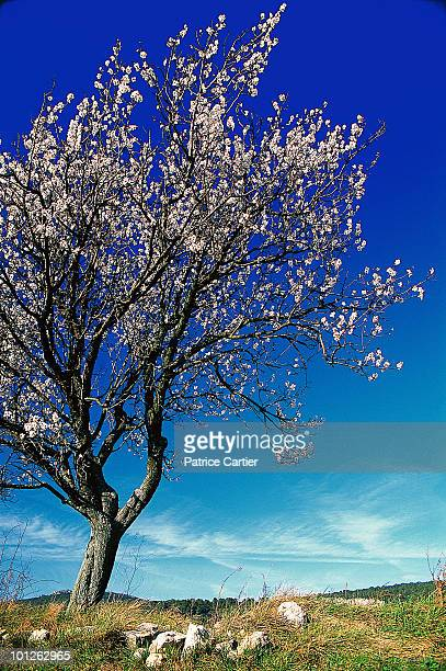 Flowering almond tree, Aude, France