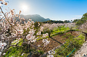 Almond fields in bloom in the Sierra de Tramuntana in Mallorca