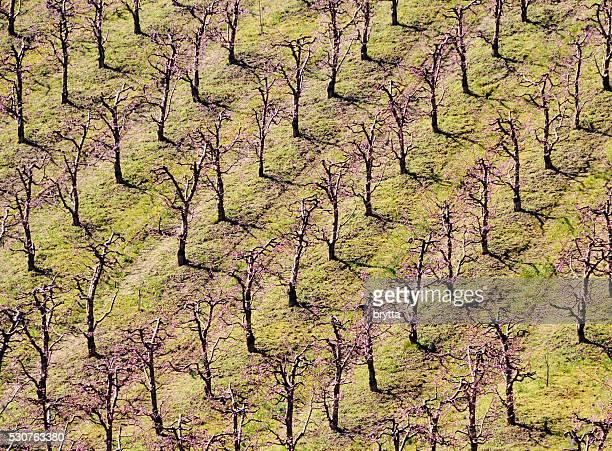 Flowering almond trees plantation