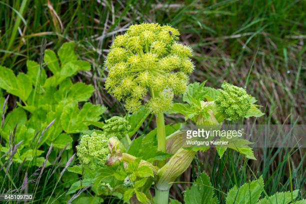 Flowering Angelica archangelica near As Borgarfjordur in western Iceland is commonly known as garden angelica wild celery and Norwegian angelica is a...