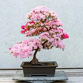 A flowering azalea bonsai tree in a ceramic pot sitting on a wooden table.