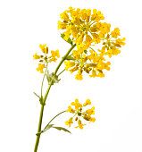 Flowering Barbarea vulgaris or Yellow Rocket plant (Cruciferae, Brassicaceae) close up isolated on white