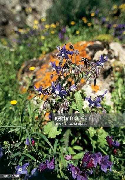 Flowering Borage or Starflower on Monte Arcuentu Costa Verde Sardinia Italy