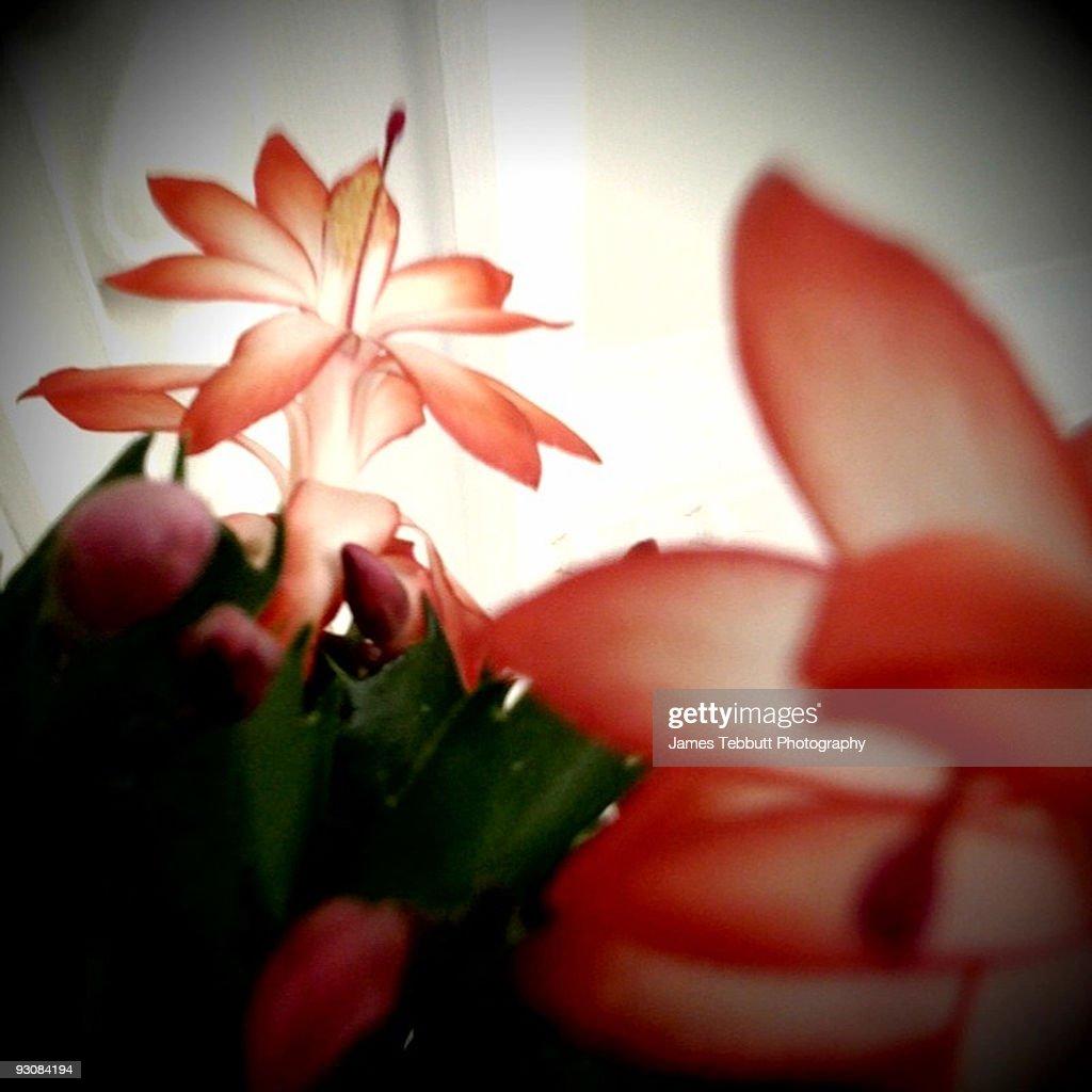 Flowering Cactus : Stock Photo