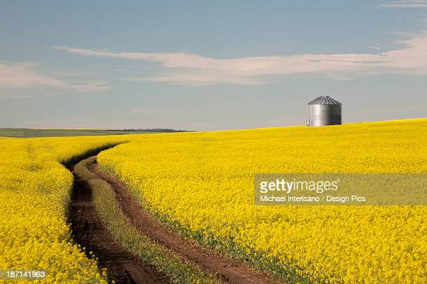 Flowering Canola With Grain Bins In The Background And Tractor Tracks In The Field