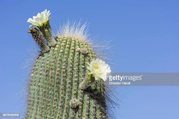 A flowering Cardon cactus -Echinopsis atacamensis-, Tilcara, Jujuy Province, Argentina