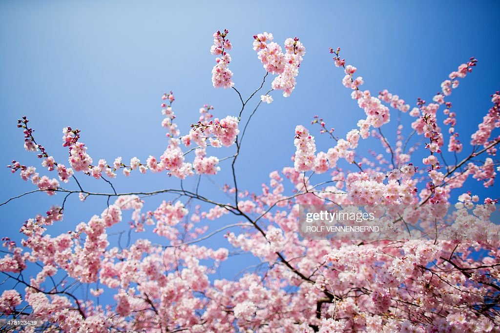 Flowering cherries stand in full bloom on March 12, 2014 in Muenster, western Germany. Spring brought a warm and sunny day to wide parts of the country. AFP PHOTO / DPA / ROLF VENNENBERND / GERMANY OUT