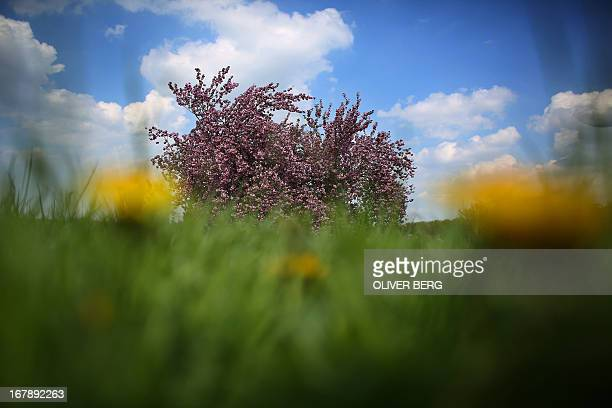 A flowering cherry blossoms on a meadow in Cologne western Germany on May 2 2013 Meteorologists forecast temperatures around 15 degrees for the...
