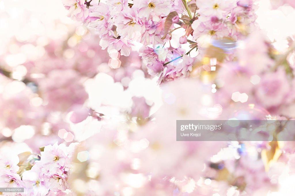 Flowering cherry (Prunus serrulata), close up : Stock Photo