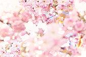 Flowering cherry (Prunus serrulata), close up