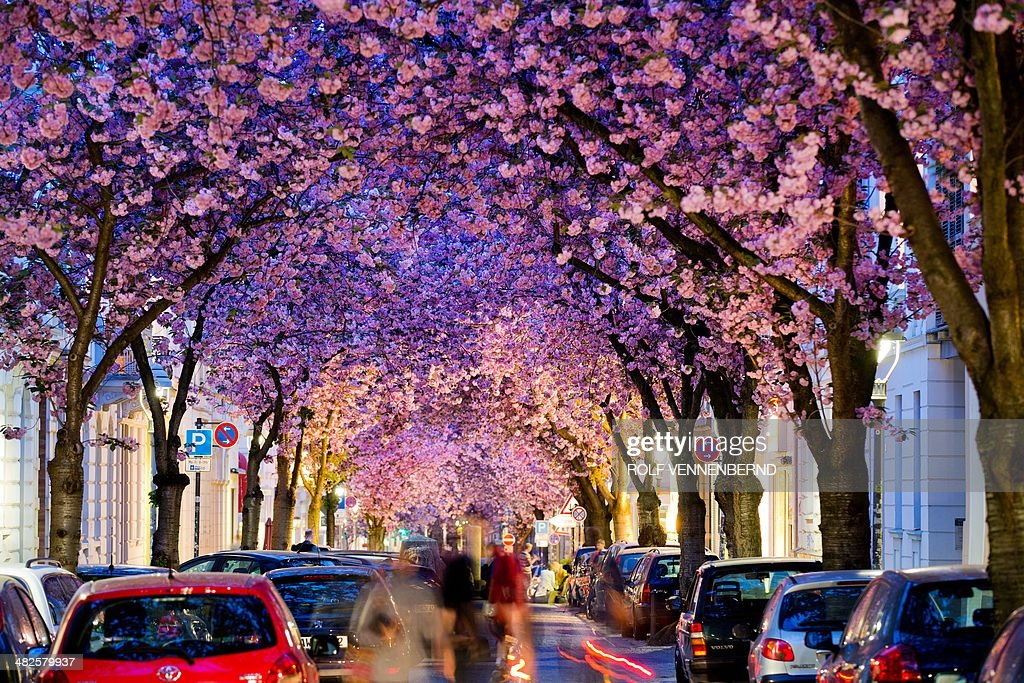 Flowering cherry trees stand in a street in Bonn, western Germany, on April 3, 2014. Meteorologists forecast sunny and warm weather for the upcoming weekend.