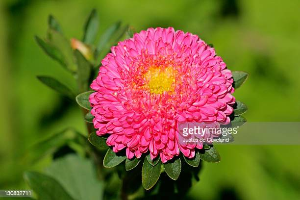 flowering china aster - blossom close up (Callistephus chinensis)