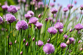 Chives blossom in the Summer