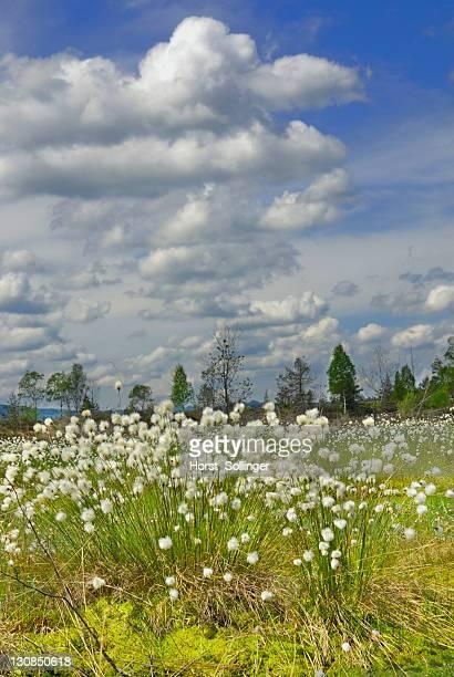 Flowering Cottongrass, Cotton-grass or Cottonsedge (Eriophorum sp.) in raised bog wetlands, Nicklheim, Bavaria, Germany, Europe