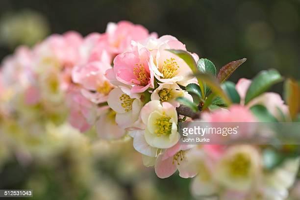 Flowering crabapple, pink Malus spp.