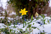 Strong determined flowering daffodil pushing though a layer of ice and snow that covers the landscape around