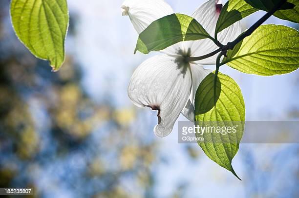 Fiore Fiore di sanguinello