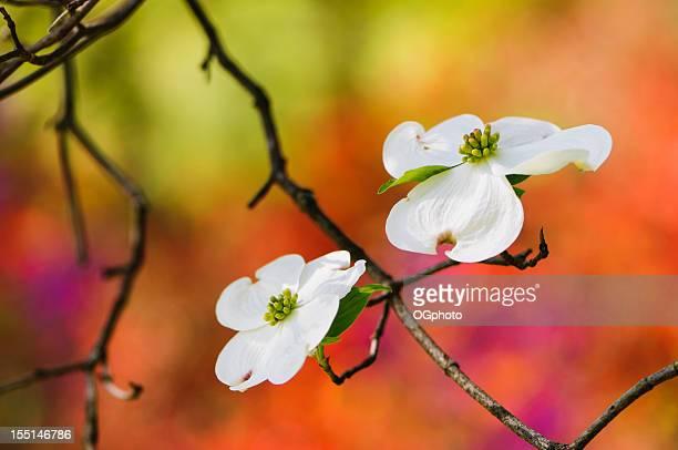Cornejo florido cerezos en flor