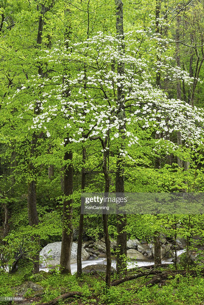 Dogwood Tree Pictures