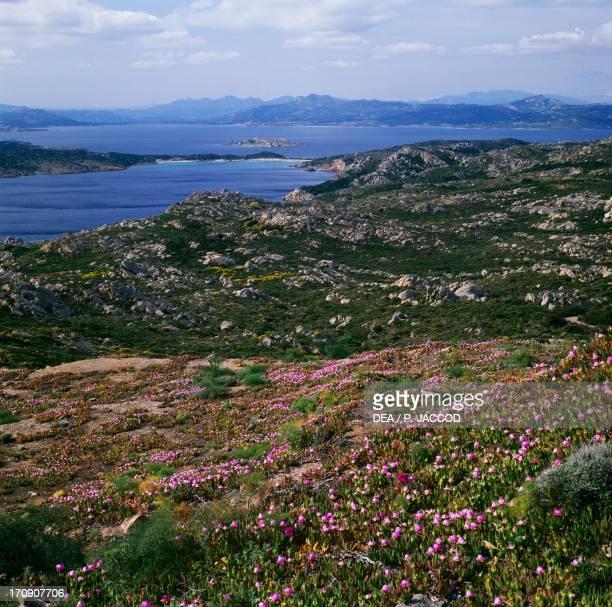 Flowering Elands Sourfig Cala Portese Caprera Island La Maddalena Archipelago National Park Sardinia Italy