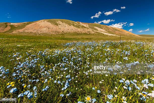 Flowering forget-me-not in the mountains