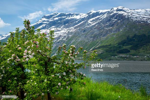 Flowering fruit trees in Hardanger, Norway