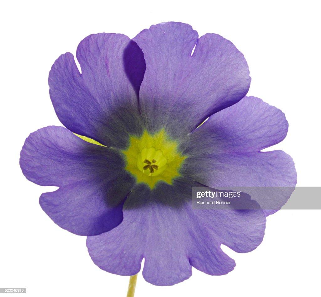 Flowering German Primrose -Primula obconica-