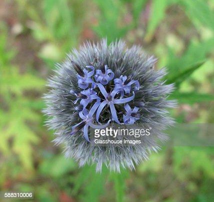 Flowering Globe Thistle