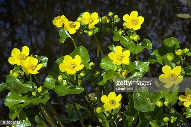 flowering Kingcup Marsh Marigold