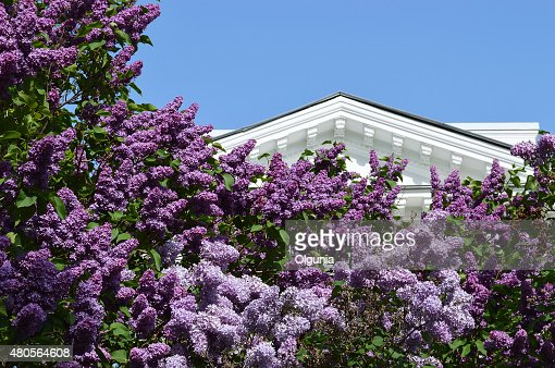 Flowering lilac in the park. : Stock Photo
