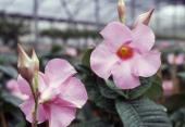Flowering Mandevilla Apocynaceae