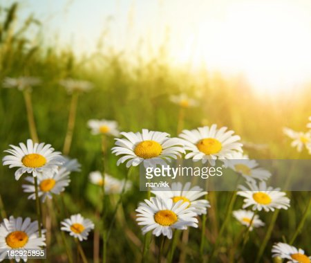 Flowering Meadow in Sunset Light