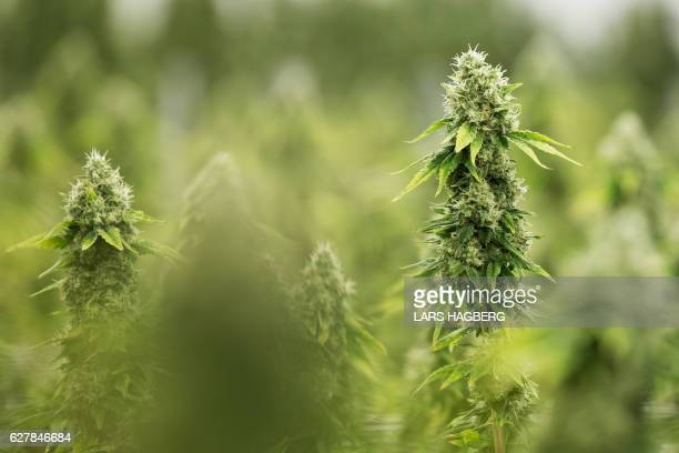 Flowering medicinal marijuana plants at Tweed INC in Smith Falls Ontario December 5 2016 / AFP / Lars Hagberg