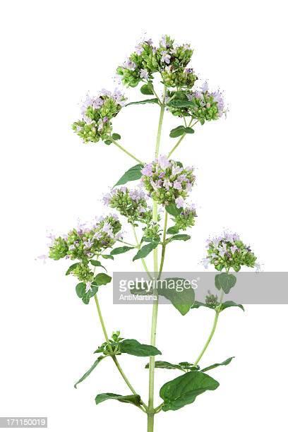 Fleurs Origan (origanum vulgare) isolé sur blanc