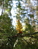Flowering pine spring season nature weather forest trees needles sunlight day macro close-up