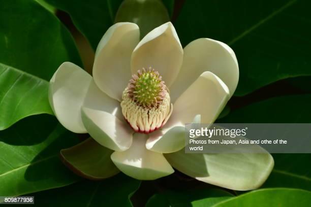 Flowering Plant / Magnolia obovata / Japanese Big Leaf Magnolia