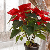 Flowering Poinsettia by the window is the concept of a home garden. The flower has a different name - a Christmas star.