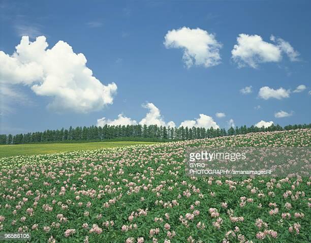 Flowering Potato field in Biei-Machi, Hokkaido, Japan