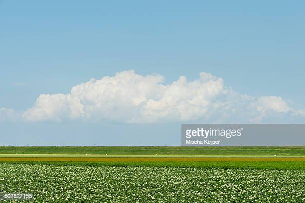Flowering potatoes in the newly made land of the Flevopolder, Dronten, Flevoland, Netherlands