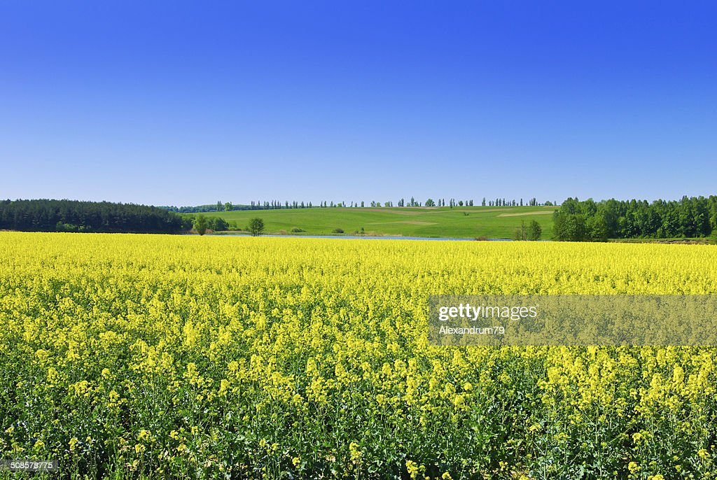 Flowering rape against the blue sky. : Stockfoto