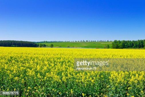Flowering rape against the blue sky. : Bildbanksbilder