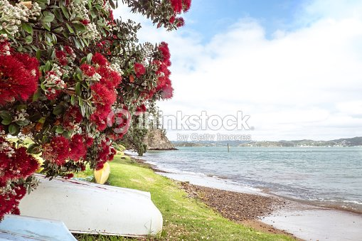 Flowering Red Pohutukawa Is Known As The New Zealand Christmas Tree