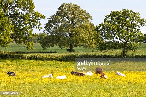 Flowering summer meadow with grazing, resting cows : Stock Photo