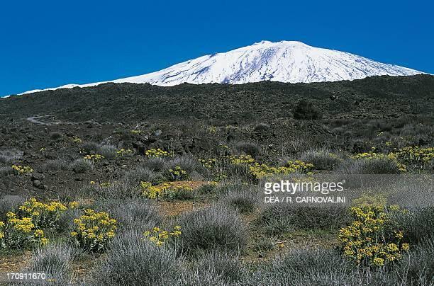 Flowering tree spurge Etna Park Bronte slopes Sicily Italy
