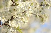 Flowering trees in spring on a blurred background, selective focus, beautiful garden and good harvest in summer. Branches of plums in spring garden with blur effect for abstract background