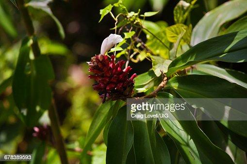 Flowering Tropical Plant, Borneo