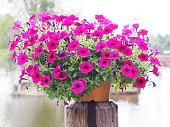 Flowerpot pink petunia flowers on wooden pole by river